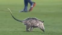 Dzīvnieks izpelnās mača labākā spēlētāja godu