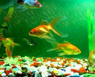 Kas jāzina, ja vēlaties iegādāties zivtiņas un akvāriju