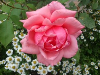 Ziedu valoda. Ko stāsta ROZES