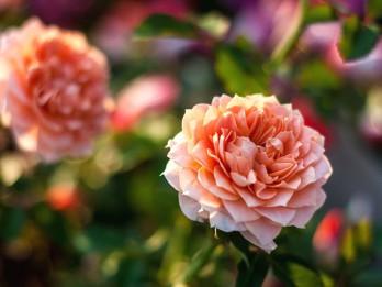 """Nedēļas nogalē Rožu laukumā gaidāmi krāšņi svētki dārzkopjiem """"Pavasaris ziedos"""""""