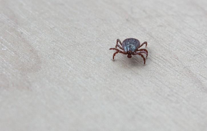Uzmanies, ērces jau modušās – visaktīvākās tās ir pavasarī