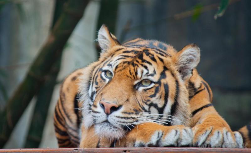 Tīģera gadā dzimušie: kādi viņi ir?