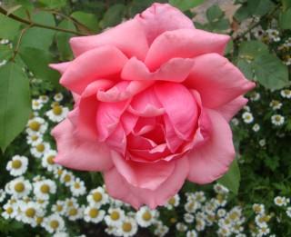 Ziedu valoda. Ko stāsta ROZES?
